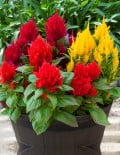 Celosia Bright Sparks Mixed