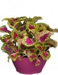 Coleus Superfine Rainbows Color Pride 1