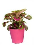 Coleus Superfine Rainbows Color Pride 2