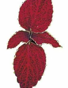 Fairway Red Velvet Leaf