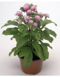 Gomphrena Buddy Rose Pot_SC