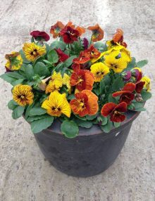 Viola Tiger Eye Mixed Pot