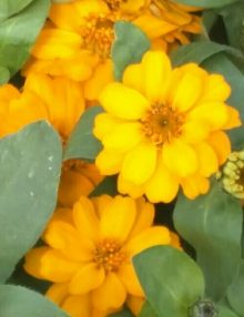 ZinniProfusionDoubleGoldenFlower_SC