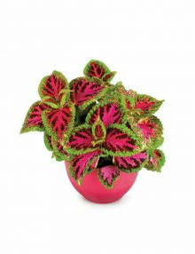 Coleus Superfine Rainbow Color Pride