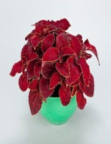 coleus_superfine_rain_red_velvet1_1_1