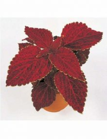 fairway-red-velvet-pot