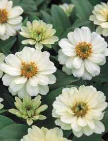 profusion double white_SC