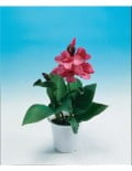 tropical Rose_SC