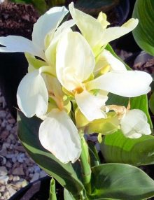 tropical white flower_SC