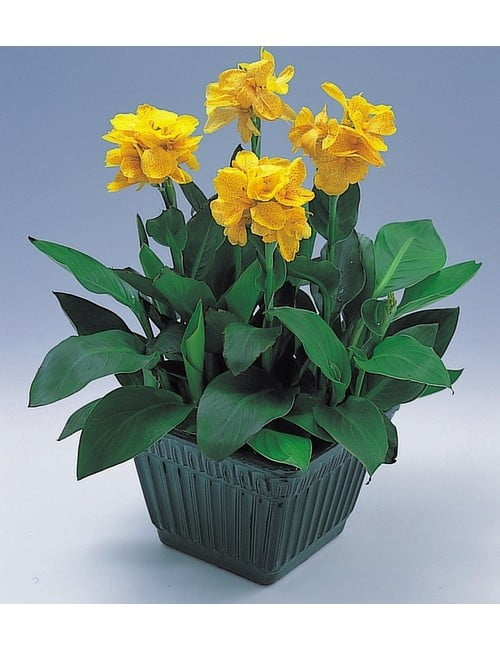 tropical-yellow-pot_SC