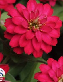 zinnia-profusion-doubles-hot-cherry