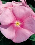 Victory Light Pink Flower
