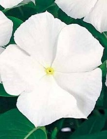Victory Pure White Flower