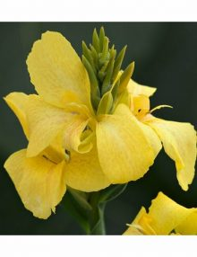 cannova-bronze-yellow-flower_SC