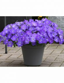 Easy Wave Lavender Sky Blue Petunia Color Code: 2577,2587,2597c PAS Kieft 2020, #SB 4232 Container in setting, Seed 06.19.18  Venhuizen, Mark Widhalm EWLavSkyBlue_02.JPG PET18-24385.JPG