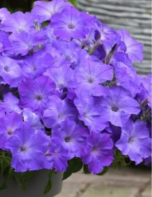 Easy Wave Lavender Sky Blue Petunia