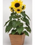 SunBuzz Sunflower Helianthus