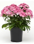 Jolt Pink Magic Dianthus Color Code:  PAS Kieft 2018 Quart Pot On Sweep, Seed 08/02/16 Santa Paula, Mark Widhalm JoltPinkMagic_02.JPG DIA16-21642.JPG