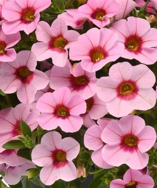 kabloom-light-pink-flower_SC