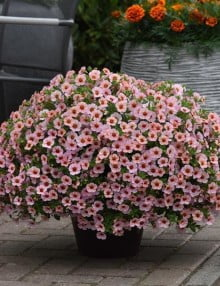 kabloom-light-pink-pot_SC