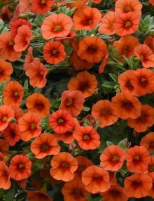 Kabloom Orange Calibrachoa Color Code: 1665c PAS Kieft 2020 Container in Setting, Seed 06.19.18 Venhuizen, Mark Widhalm KabloomOrange_02.JPG CAL18-24407_AL.JPG