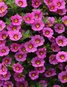 Kabloom Pink Calibrachoa Color Code: 238c PAS Kieft 2020 Container in Setting, Seed 06.19.18 Venhuizen, Mark Widhalm KabloomPink_02.JPG CAL18-24408_AL.JPG