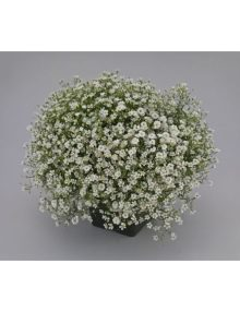 gypsophila gypsy white_SC