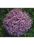 gypsophila_gypsy-deep-rose-garden_SC