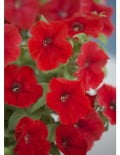 opera-supreme-red-flowers_SC