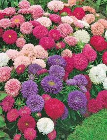 Aster Color Carpet Mix_SC