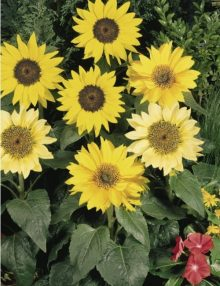 Helianthus Pacino mix_SC