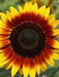 Helianthus Ring of fire_SC