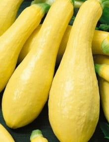 Squash Yellow Straight Neck_SC (1)