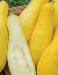 Squash Yellow Straight Neck_SC