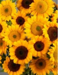 helianthus-vincent-2-fresh