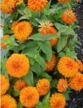 zinnia-magellan-orange-sc