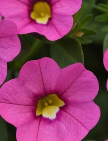 Kabloom Pink Calibrachoa