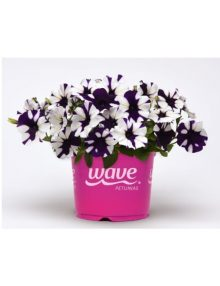 petunia-shock-wave-purple-tie-dye-pelleted-sc