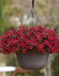 calibrachoa-kabloomcherry-01