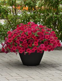 Wave Carmine Velour Spreading Petunia