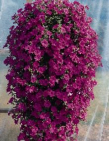 Wave Lavender Spreading Petunia  Color Code#246C  PAS  Hanging, Seed  35mm, 400%25  Shot in Germany 7.01 by Jim Nau  PET10028-74296