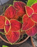 coleus-giant-exhibition-rustic-red